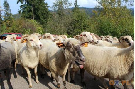 Owca Plus ma przywracać tradycje wypasu w Beskidach. fot. ARC/OX.PL