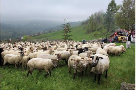 Owce na hali w Wiśle fot.wisla.pl