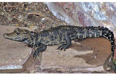Zdjęcie ilustracyjne przedstawiające krokodyla krótkopyskiego. Fot. mat. pras. Czeskiej Policji.