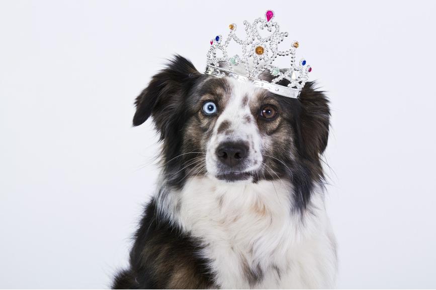 Pies z dwukolorowymi oczami na głowie znajduję się korona